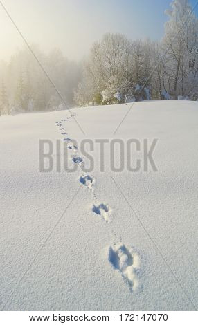 Roe deer traces on deep snow at early foggy winter morning. Trees covered with hoarfrost at the background