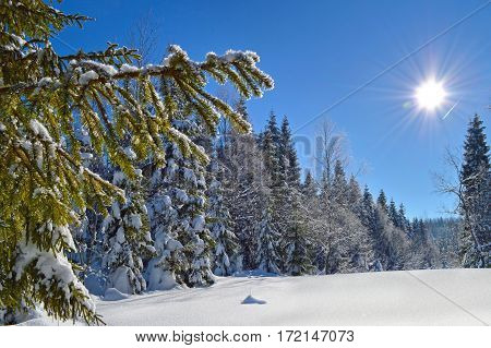 Fir tree branches covered with snow and hoarfrost on blue sky background. Sun shining brightly