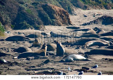 Elephant Seals Laying On The Beach Sunbathing In Usa