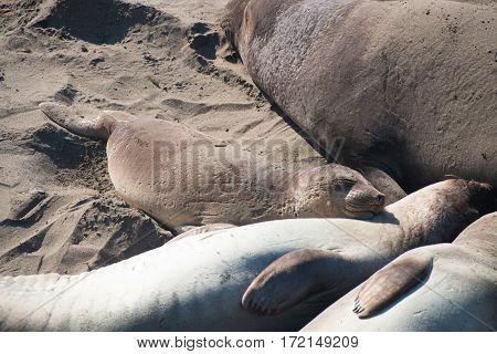 elephant seals laying on the beach sunbathing in USA California