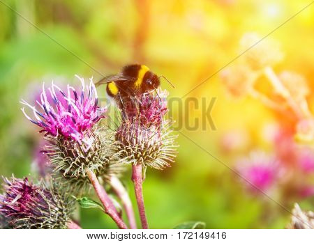 Bumblebee On A Flower Close Up