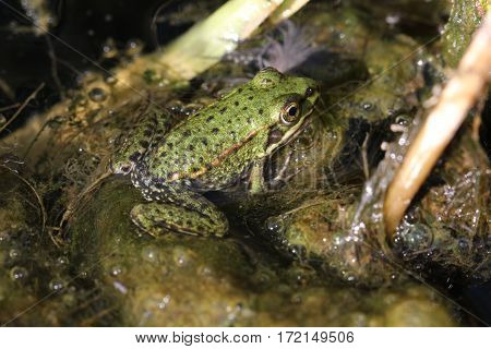 Small pond frog in natural environment, natur