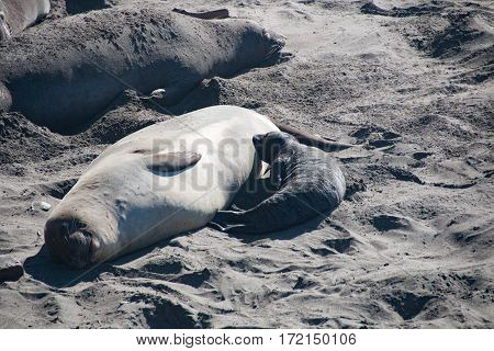 Female elephant seal nursing its baby elephant seal in USA California