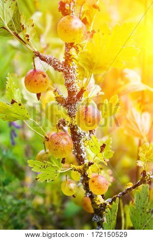 Ripe Berry Gooseberries On A Branch In Summer