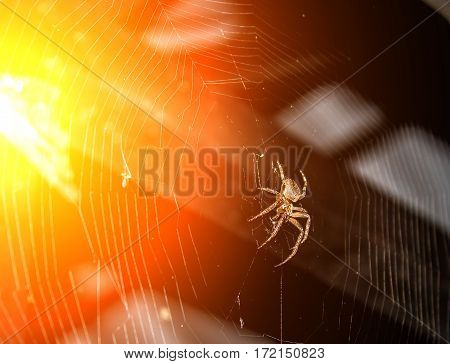 On The Web A Large Poisonous Spider Hunts