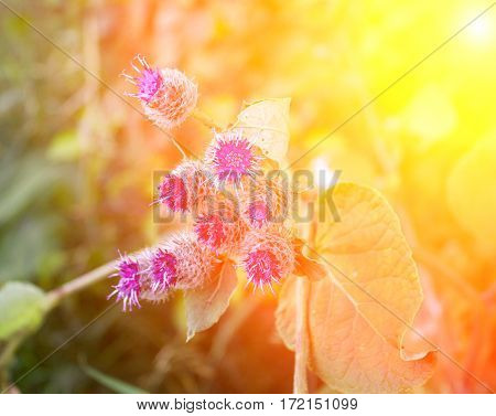 Medicinal Herbs, Burdock