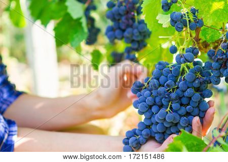 Grape Harvesting In A Vineyard In Kakheti Region, Georgia. Woman's Hands Close Up.