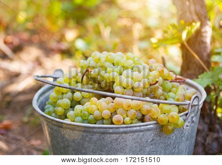 Grape Harvest. White Wine Grapes In Buckets After The Harvest At The Vineyard.