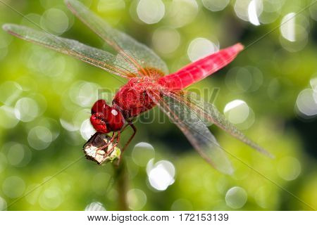 Close up of a red lovely dragonfly in nature.