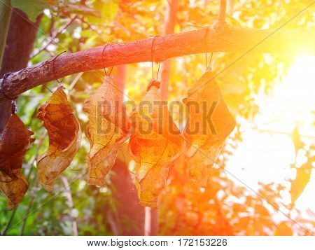 Cocoons Of Exotic Butterflies In Summer