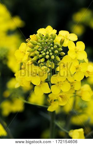a green yellow Raps bloom, nature, close up