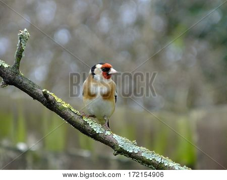 Colorful goldfinch as seen during the wintertime