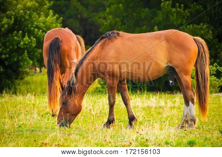 Some wild horses grazing in the grass