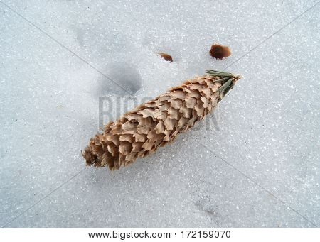 Fir cone lying on the snow surface