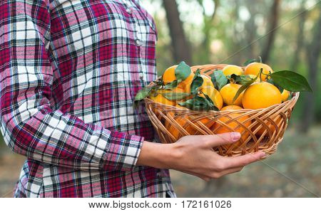 Basket Of Mandarins In The Hands Of A Woman