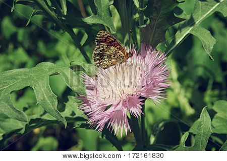 Brown Butterfly Sitting On A Pink Aster Flower Close Up