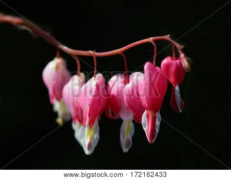 Branch of red Bleeding heart flowers black background (latin name: Lamprocapnos spectabilis).