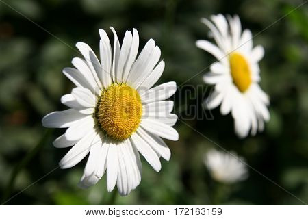 Two Chamomile Flowers On Green Background Close-up