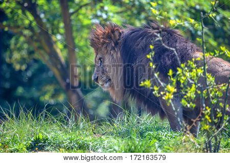 Close-up of sitting lion or Panthera leo