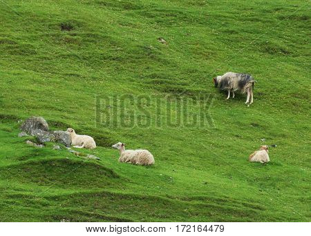 on a green slopes some sheeps are grazing a typical view from the Faroe Island