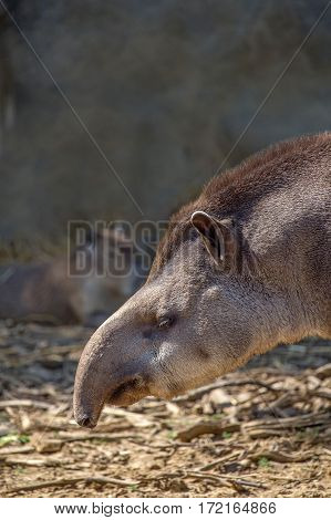 Close-up of South American tapir or Tapirus terrestris also known as the Brazilian tapir