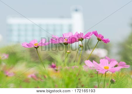 colorful cosmos flower in the garden with copy space