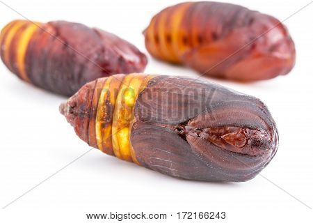 Closed Up Of Giant Atlas Moth (attacus Atlas) Chrysalis Or Pupa