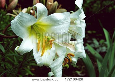 Close-up Photo Of Beautiful White Lily Flower