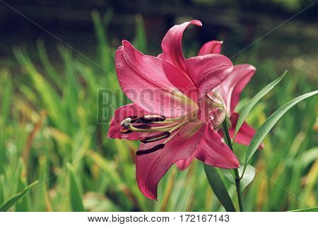 Extreme Close Up Colorful Pink Lily Against Green Lawn Background In Garden