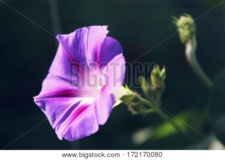 Morning Glory Bindweed With Large, Sky-blue Flower.