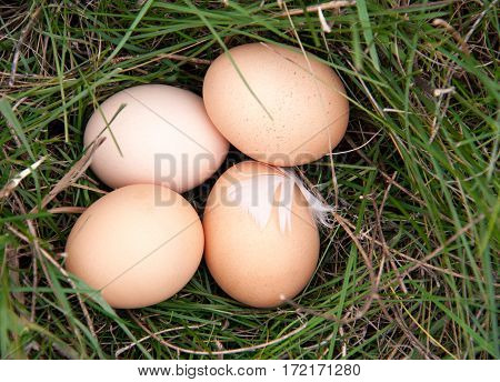 four chicken eggs lying in a green grass.