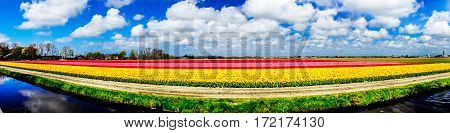 River and rows of colorful tulips in the field in the Netherlands.