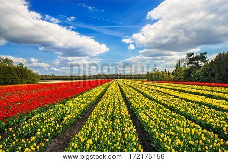 Rows of yellow and red tulips in the field in the Netherlands.