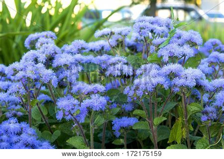 Beautiful blue flowers in the flowerbed ageratum.