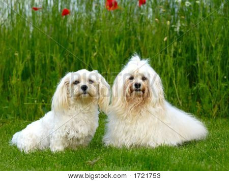 Two Dogs, Grass And Flowers