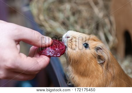 Cute red guinea pig eating beetroot. Close up.