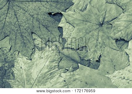 the natural textured background from maple foliage of monotonous green color