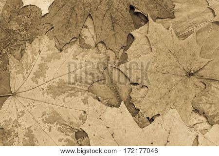 the natural textured background from maple foliage of monotonous brown color