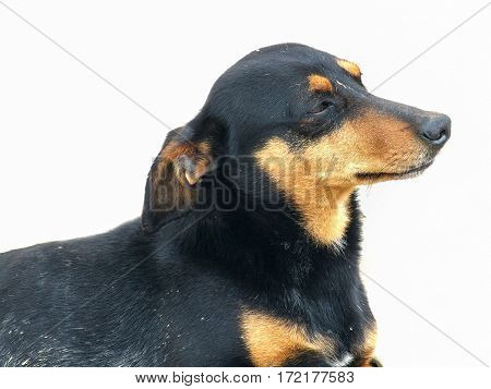 The proud Dachshund poses on the white isolated