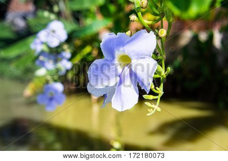 Blue Purple Soft Flower Of Laurel Vine,thunbergia Laurifolia Cold Herbs In Asia