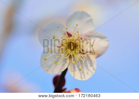 Macro details of Japanese White Plum blossoms with blurred background in horizontal frame
