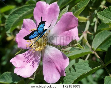 Beautiful butterfly with blue pattern on the wings sitting on a pink flower wild rose that blooms among the leaves so green.