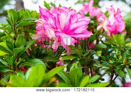 Pink Azalea Blooming, Rhododendron, Bonsai Flowers, Lush Flower.