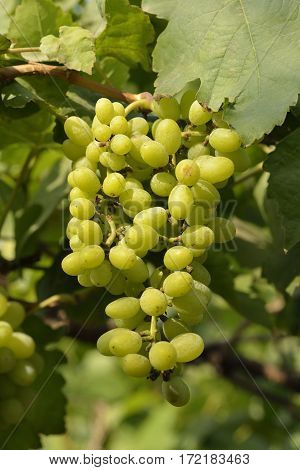 Cluster of  Fresh White Grapes in Field