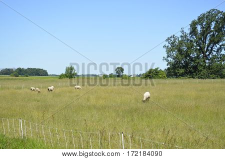 Domestic livestock grazing in the open grassy pasture in the summertime