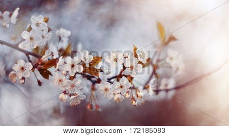 Branch with white flowers of a cherry tree in the spring.