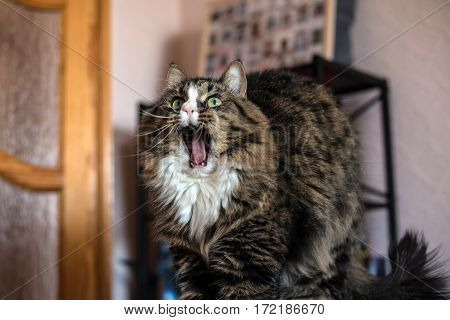 cat yawns and lying on the couch.