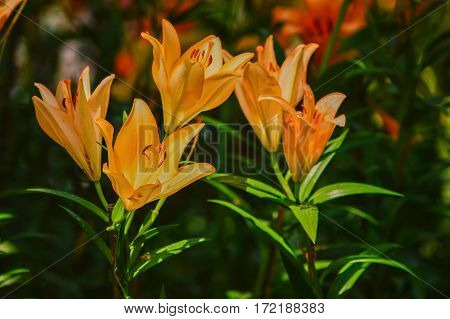 Orange lilies Expresses happiness cheerful joy being around is