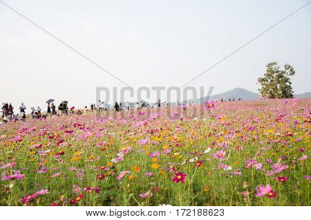 Wildflower Cosmos flora filed while sunset and more traveler at Singha Park Chiang Rai Thailand.
