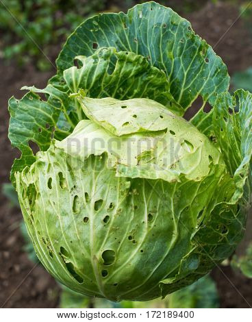 Cabbage head with holes in its leaves made by caterpillars in the vegetable garden.